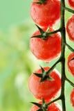 Wodne kropelki na Pomidorowej roślinie Zdjęcia Stock