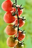 Wodne kropelki na Pomidorowej roślinie Zdjęcie Stock