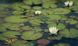 Wodne leluje Zdjęcie Stock
