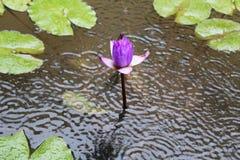 Wodne leluje Zdjęcie Royalty Free