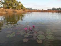 Wodne leluje Angkor Wat, Siem Przeprowadzają żniwa Zdjęcie Royalty Free