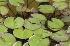Wodne leluje bez kwiatów na wodzie fotografia stock