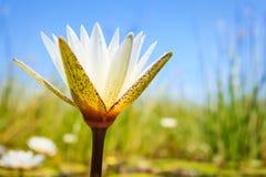 Wodne leluje kwitną podczas powodzi delty bagno Fotografia Stock