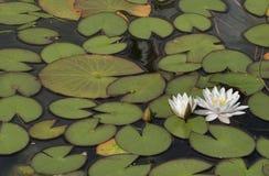 Wodne leluje kwitnie w stawie Zdjęcia Royalty Free
