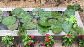 Wodne leluje na flowerbed zbiory