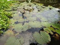 Wodne leluje na jeziorze Fotografia Stock