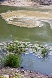 Wodne leluje na stawie z udziałami zanieczyszczenie Obraz Royalty Free
