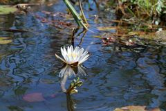 Wodne leluje w Okavango delcie Botswana obraz royalty free