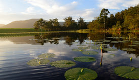 Wodne leluje z zielonymi lotosowymi liśćmi w tamie, Ogrodowa trasa, Południowa Afryka Zdjęcia Royalty Free
