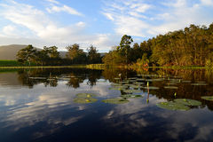 Wodne leluje z zielonymi lotosowymi liśćmi w tamie, Ogrodowa trasa, Południowa Afryka Zdjęcia Stock