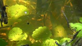 Wodne pchły - dafni pulex zbiory wideo