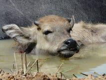 Wodnego bizonu łydka zdjęcie royalty free