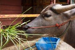 Wodnego bizonu łasowania trawa Fotografia Royalty Free