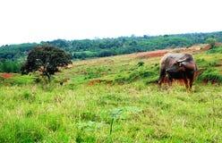Wodnego bizonu łasowania trawa samotnie Zdjęcie Royalty Free