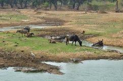 Wodnego bizonu odpoczywać obrazy royalty free