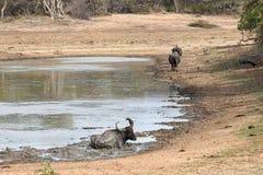 Wodnego bizonu odpoczywać obraz stock