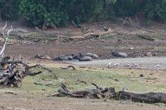 Wodnego bizonu odpoczywać Zdjęcie Royalty Free