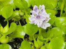 Wodnego hiacyntu Eichhornia kwitnie zakończenie, selekcyjna ostrość, płytki DOF Zdjęcie Royalty Free