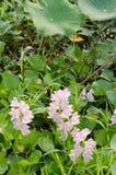 Wodnego hiacyntu kwiat Zdjęcie Stock