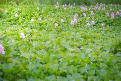 Wodnego hiacyntu zieleń kwiatu Obrazy Stock