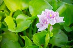 Wodnego hiacyntu zieleń kwiatu Zdjęcie Royalty Free