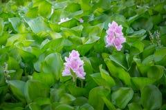 Wodnego hiacyntu zieleń kwiatu Fotografia Stock