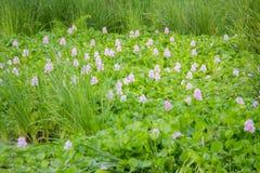 Wodnego hiacyntu zieleń kwiatu Fotografia Royalty Free