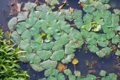 Wodnego kasztanu roślina Obrazy Royalty Free