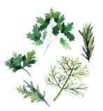 Wodnego koloru ziele Koper, pietruszka, rozmaryny i arugula, wektor Obraz Stock