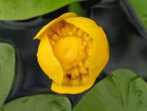 Wodnego kwiatu Nuphar botaniczny zwany lutea Zdjęcie Stock