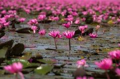 Wodnego Lilly kwiatu lub Lotosowego kwiatu kwitnienie w jeziorze obrazy royalty free