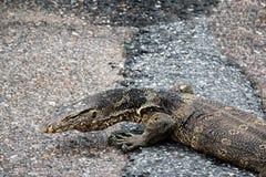 Wodnego monitoru jaszczurka Zdjęcie Stock