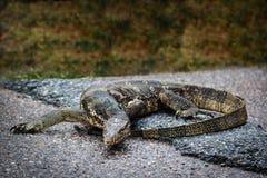 Wodnego monitoru jaszczurka Fotografia Royalty Free