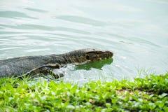 Wodnego monitoru Varanus salvator pływa w stawie zdjęcie stock