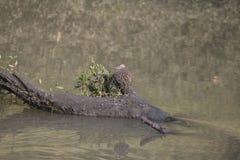 Wodnego ptaka sandpiper w jego siedlisku obrazy royalty free