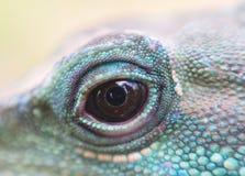 Wodnego smoka iguany gada oka zakończenie up Obrazy Stock