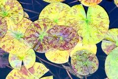 Wodnego stawu zieleni ogród Lilys Zdjęcia Stock