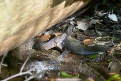 Wodnego węża łowiecki sum przy płytką wodą Obraz Stock