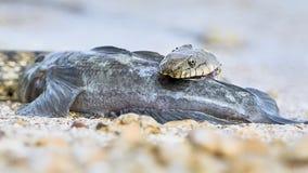 Wodnego węża dymówek ryba Zdjęcie Stock