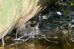 Wodnej kierpec łapania ryba w bagnie Zdjęcie Royalty Free