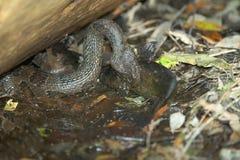 Wodnej kierpec węża łapania ryba przy bagnem Fotografia Stock
