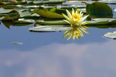 Wodnej lelui kwiat Zdjęcia Royalty Free