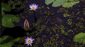Wodnej lelui kwiat Zdjęcie Stock