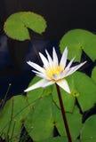 Wodnej lelui kwiat, biali Nymphaea gatunki Obraz Stock
