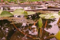 Wodnej lelui kwiat, hybrydowa rozmaitość fotografia royalty free
