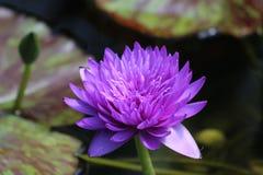 Wodnej lelui kwiat W stawie Zdjęcie Royalty Free
