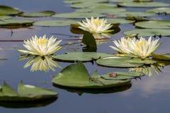 Wodnej lelui kwiaty Fotografia Stock