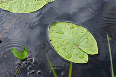 Wodnej lelui liść Zdjęcia Stock
