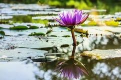 Wodnej lelui lotos i staw Zdjęcie Royalty Free