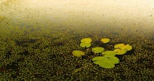 Wodnej lelui ochraniacze Zdjęcie Royalty Free